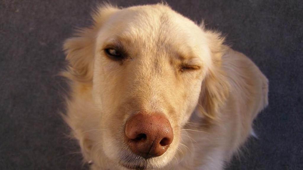 Des chiens renifleurs... de diabète