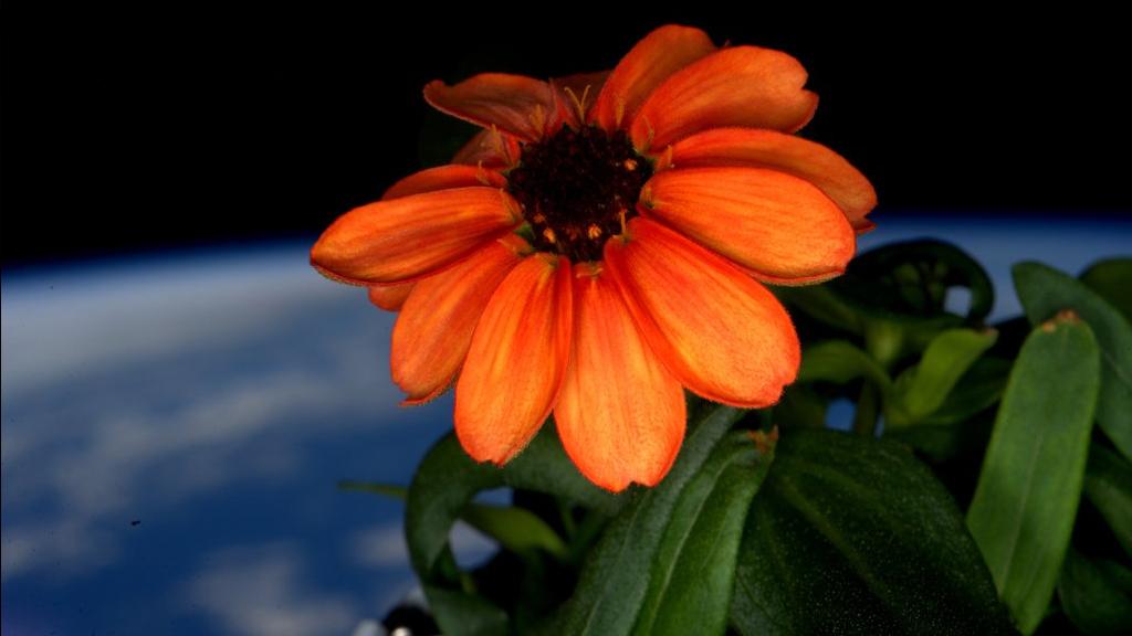 Voilà la première fleur qui a poussé dans l'espace!