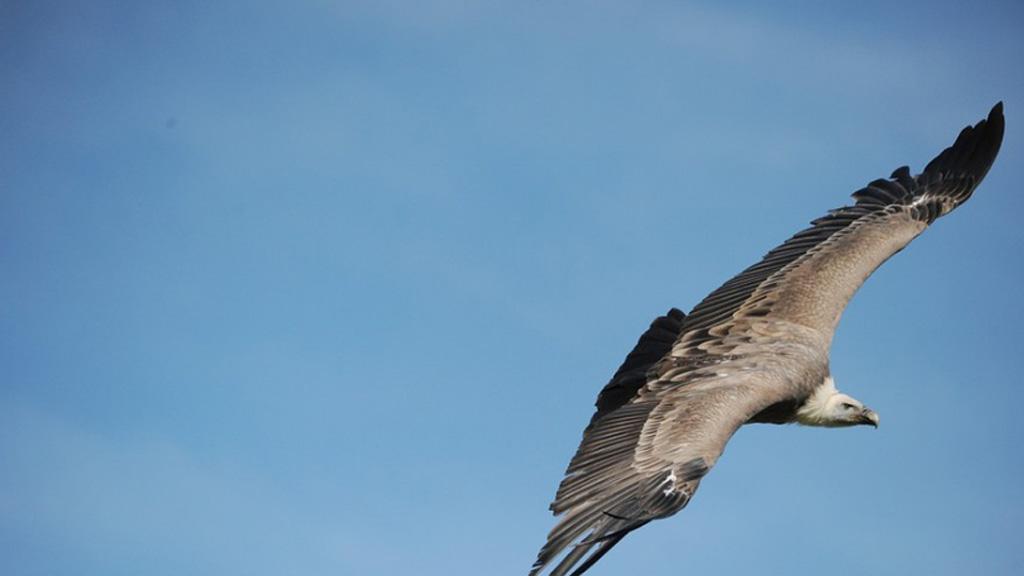 Quand les vautours sortent les poubelles