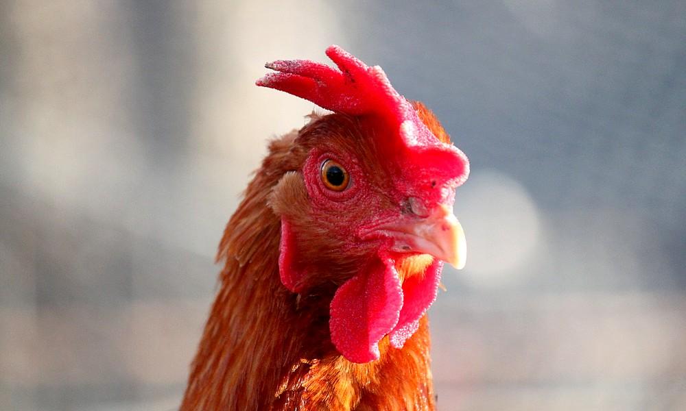 chicken-face-1
