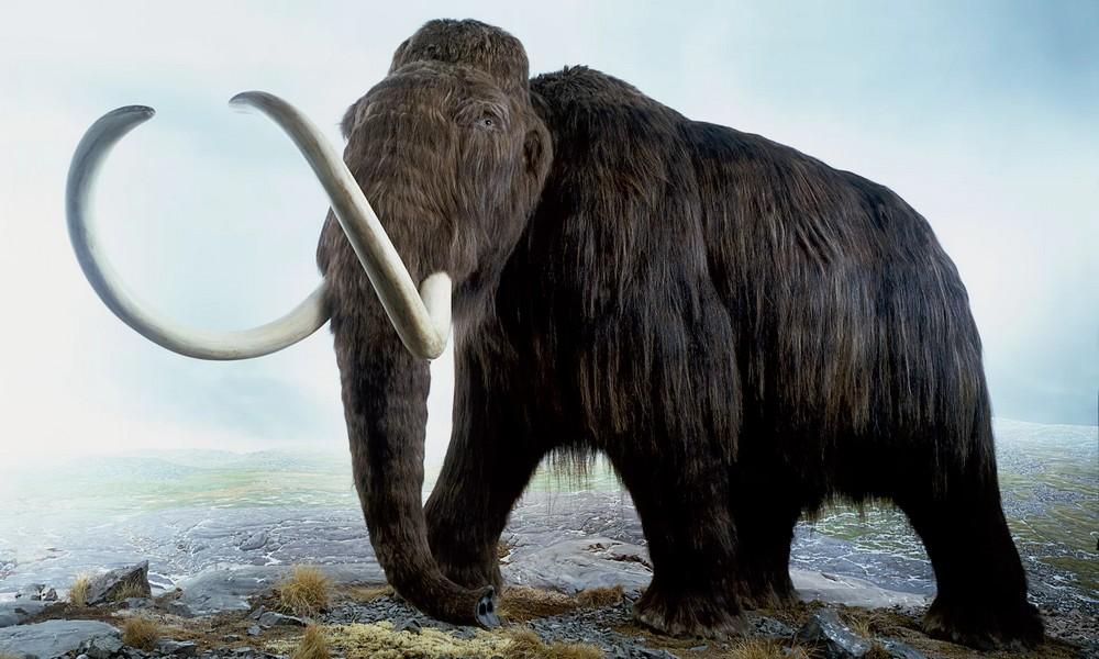 Un mammouth pourrait renaître avant 2020