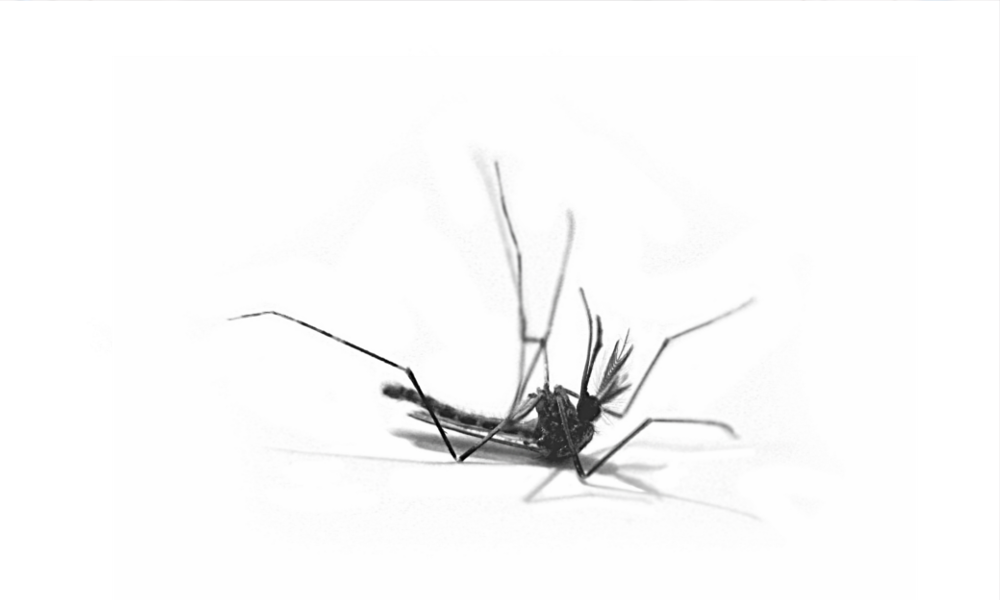 Une solution naturelle va nous débarrasser des plus dangereux moustiques
