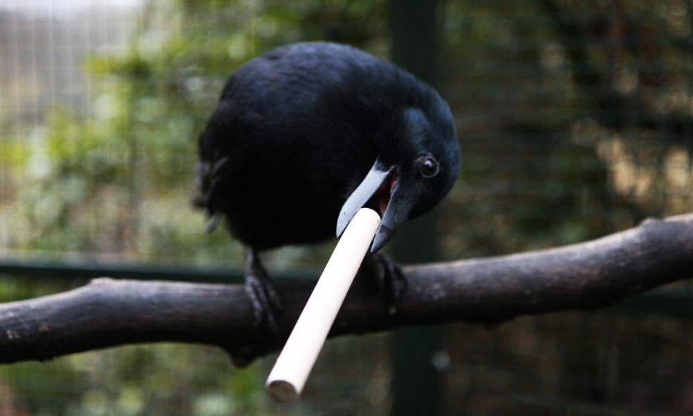 Ils dressent les corbeaux pour ramasser les mégots de cigarettes