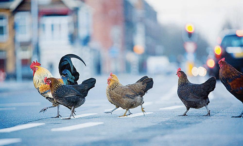Quand les poules mangent nos déchets, la ville devient plus propre