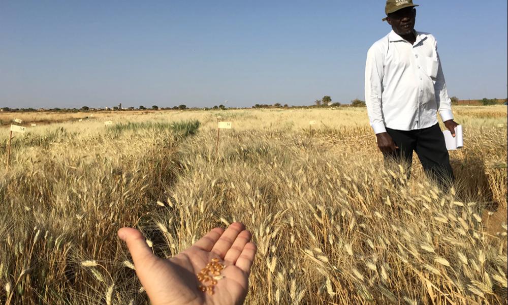 Ce super-blé résiste au réchauffement climatique