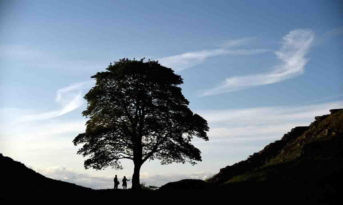 Cet arbre anti-pollution absorbe deux fois plus de CO2