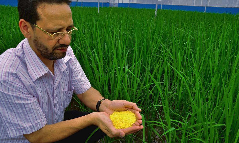 Des scientifiques cultivent un riz OGM qui repousse le SIDA