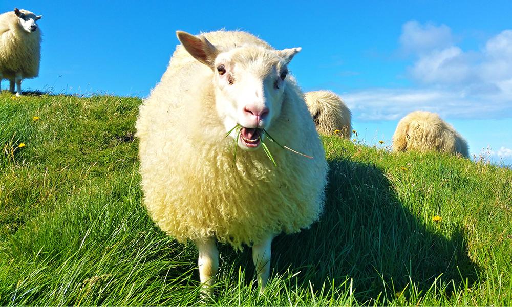 Sur certaines autoroutes françaises, ce sont les moutons qui tondent l'herbe