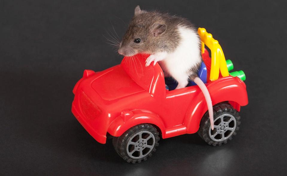 Pour devenir plus intelligentes, les voitures autonomes vont imiter… le cerveau des rats