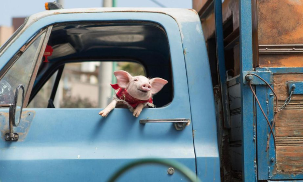 Un Breton lance un carburant à base… d'urine de porc