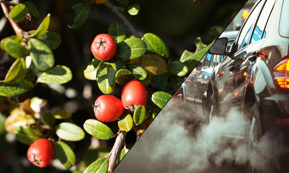 """Le cotonéastre, une super plante capable de """"manger"""" la pollution automobile"""